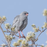 Dark Chanting-Goshawk (1)