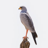 Eastern Chanting-Goshawk (1)