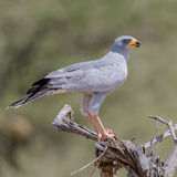 Eastern Chanting-Goshawk (2)