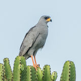 Eastern Chanting-Goshawk (3)