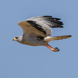 Eastern Chanting-Goshawk (4)