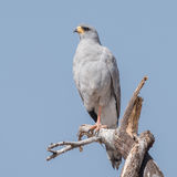 Eastern Chanting-Goshawk (5)