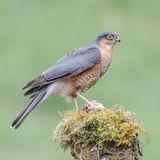 Eurasian Sparrowhawk (2)