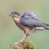 Eurasian Sparrowhawk (3)