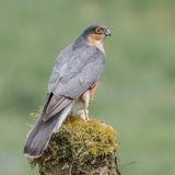 Eurasian Sparrowhawk (4)