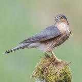 Eurasian Sparrowhawk (5)