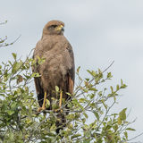 Savanna Hawk (1)