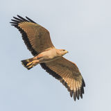Savanna Hawk (3)