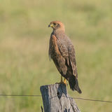 Savanna Hawk (4)