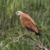 Black-collared Hawk (2)