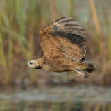 Black-collared Hawk (3)