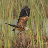 Black-collared Hawk (4)