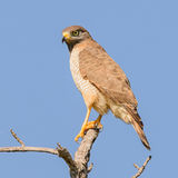 Roadside Hawk (1)
