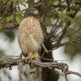 Roadside Hawk (2)