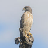 Roadside Hawk (3)