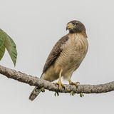 Roadside Hawk (4)