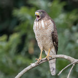 Roadside Hawk (7)