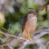 Roadside Hawk (5)