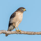 Roadside Hawk (8)