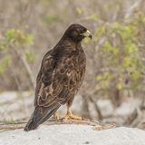 Galapagos Hawk (2)