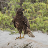 Galapagos Hawk (4)
