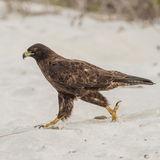 Galapagos Hawk (5)
