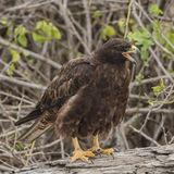 Galapagos Hawk (6)