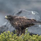 Galapagos Hawk (7)