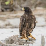 Galapagos Hawk (8)