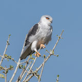 Black-winged Kite (1)