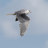 Black-winged Kite (3)