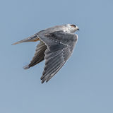Black-winged Kite (4)
