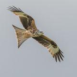 Red Kite (2)