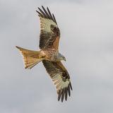 Red Kite (4)