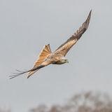 Red Kite (5)