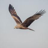 Black Kite (3)