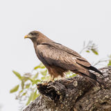 Yellow-billed Kite (1)