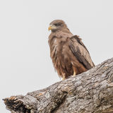 Yellow-billed Kite (2)
