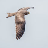 Yellow-billed Kite (3)