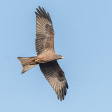 Yellow-billed Kite (4)