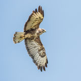 Common Buzzard (1)