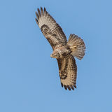 Common Buzzard (2)