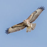 Common Buzzard (3)