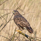 Common Buzzard (4)