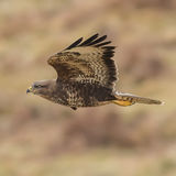 Common Buzzard (5)