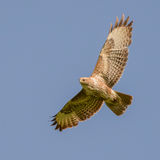 Common Buzzard (6)