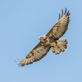 Common Buzzard (7)