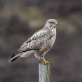 Common Buzzard (8)