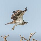 Osprey (5)