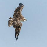 Osprey (7)